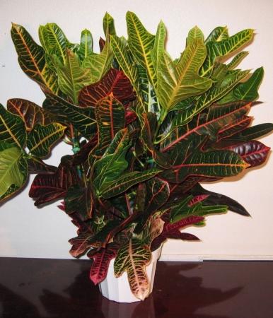 Кодиеум экселент цветок описание с фото